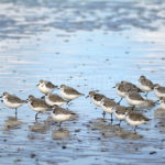 Sand Pipers / Strandlopers 01