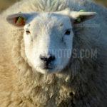 Texel Sheep / Schapen 01