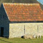 Texel Sheep / Schapen 02