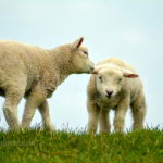 Little Lambs / Lammetjes 05
