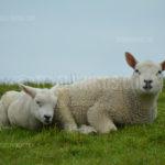 Little Lambs / Lammetjes 08
