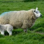 Texel Sheep / Schapen 03