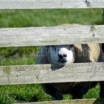 Texel Sheep / Schapen 04