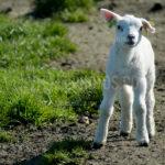 Little Lambs / Lammetjes 07