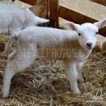 Little lambs / Lammetjes 09