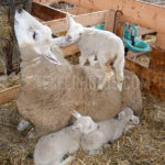 Little Lambs / Lammetjes 04