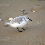 Sand Pipers / Strandlopers 02