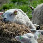 Little lambs / lammetjes 01