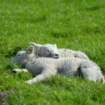 Little lambs / Lammetjes 02