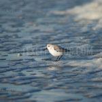 Sand Piper / Strandloper 03