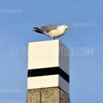 Seagull / Meeuw 03