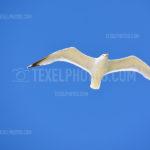 Seagulls / Meeuwen 04
