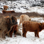 Highland Cows / Schotse Hooglanders 02