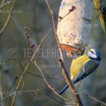 Little birds Blue Tit / Pimpelmees 01