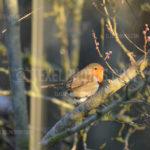 Little Birds European Robin / Roodborstje 01