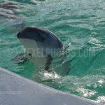 Animals Porpoise  / Bruinvis 02