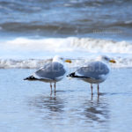 Seagulls / Meeuwen 05