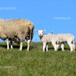 Texel Sheep / Schapen 10