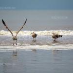Seagulls / Meeuwen 06