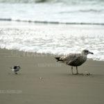 Seagulls / Meeuwen 07